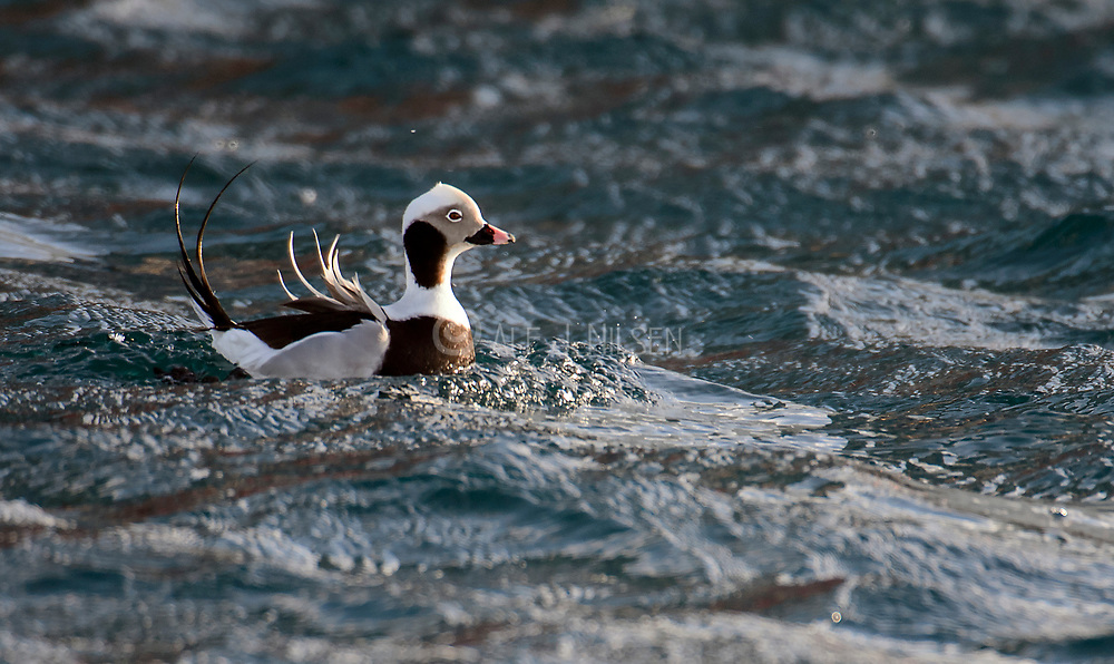 Long-tailed duck (Clangula hyemalis, male) in Vardø harbour, Finnmark, Norway.