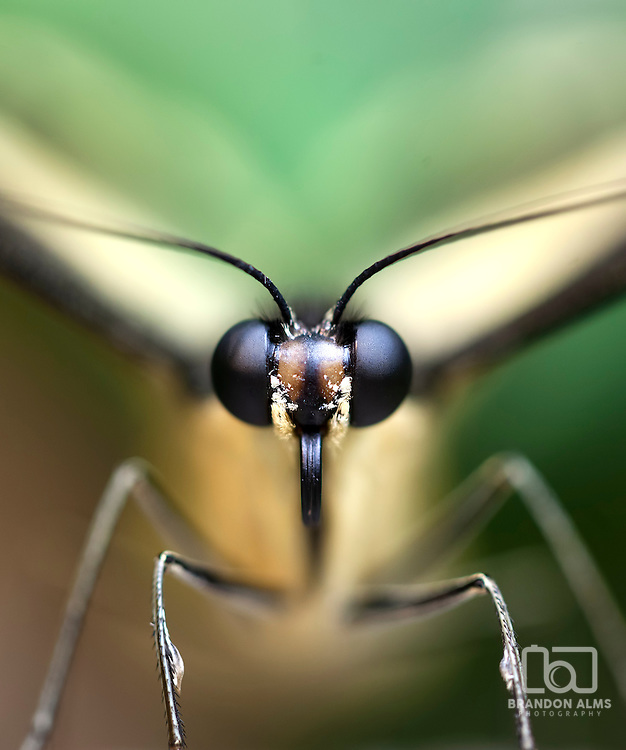 Macro shot of a Paper Kite Butterfly (Idea leuconoe). These butterfly's are found in Sout East Asia and Australia.