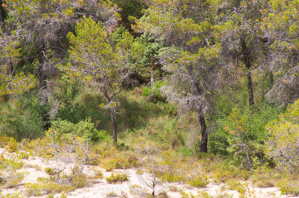 Domaine Clos Marie. Pic St Loup. Languedoc. Garrigue undergrowth vegetation with bushes and herbs. France. Europe.