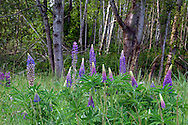 Bigleaf Lupine (Lupinus polyphyllus) in the forest at Elgin Heritage Park in Surrey, British Columbia, Canada