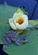 "Green Frog (Rana clamitans) rare ""blue phase"" - Quebec, Canada."