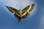 Swallowtail Butterfly, Papilio ophidocephalus, in flight, high speed photographic technique, free flying, .Africa....