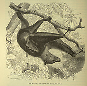 Kalong, or Malay Fox-Bat From the book ' Royal Natural History ' Volume 1 Edited by  Richard Lydekker, Published in London by Frederick Warne & Co in 1893-1894