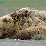 Alaskan Brown Bear, (Ursus middendorffi) Mother resting with two young cubs, one cub sleeping on her back, Katmai National Park, Alaska.