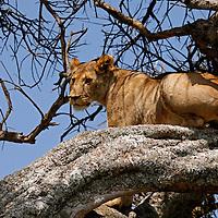 Africa, Kenya, Maasai Mara. A female lion resting in a tree.