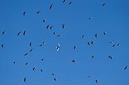 Mixed flock of White-winged black tern, Chlidonias leucopterus, and Whiskered tern, Chlidonias hybrida, Nemunas River Delta, Lithuania