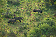 White Rhinoceros (Ceratotherium simum) from helicopter to be darted for relocation<br /> Private Game Reserve<br /> SOUTH AFRICA<br /> RANGE: Southern & East Africa<br /> ENDANGERED SPECIES