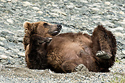 A Grizzly bear sow rolls onto her back on the shore of the lower lagoon at the McNeil River State Game Sanctuary on the Kenai Peninsula, Alaska. The remote site is accessed only with a special permit and is the world's largest seasonal population of brown bears.