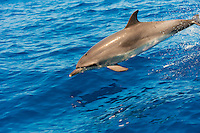 Atlantic spotted dolphin (Stenella frontalis), Canary Islands, Spain.