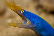 A Blue Ribbon Eel, Rhinomuraena quaesita, peers out of its lair in Beqa Lagoon, Pacific Harbor, Fiji.