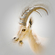 Digitally enhanced image of a Nubian Ibex (Capra ibex nubiana AKA Capra nubiana) close up of a large mature male. Photographed in Kibbutz Sde Boker, Negev, Israel
