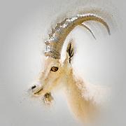 Digitally enhanced image of a Nubian Ibex (Capra ibex nubiana AKA Capra nubiana) close up of a large mature male. Photographed in Kibbutz Sde Boker, Negev, Israel