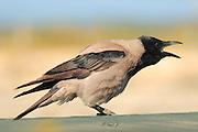 Israel, Coastal Plains, Hooded Crow (Corvus cornix) March 2008