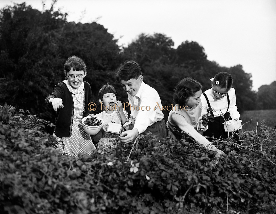 Blackberry Picking at Sandyford .(For Dublin Weekly Post).19/09/1959