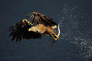 White tailed sea eagle (Haliaeetus albicilla) Flatanger, Norway. August 2008. ..White-tailed sea eagle catching mackerel (Haliaeetus albicilla and Scomber scombrus), NORWAY/FLATANGER, NORD-TRÖNDELAG. The Sea Eagle is another real comeback species in Europe. Persecuted during centuries and finally almost lost to chemical pollutants in the 1970s, it is quickly reclaiming most of its former territories across Europe. Germany hosted 530 pairs in 2009, Sweden 600, Finland 300 and Norway an estimated 4,000 pairs. It was re-introduced to Scotland in 1975 and by 2009 the UK had about 50 pairs. In 1992 it was re-introduced to Denmark, which by 2009 had 21 breeding pairs. It was also re-introduced to Ireland in 2007 and is slowly spreading southwards in Europe on its own. 2006 saw the first breeding pair The Netherlands for centuries. Everywhere, the sea eagle's successful comeback is a clear result of devoted, hard work by individual citizens, businesses, NGOs and public agencies. Yes, we can make a difference! Nature conservation works!