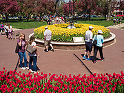 """03 MAY 2020 - PELLA, IOWA: People walk past blooming tulips in Central Park in downtown Pella, Iowa. Pella is a small community in central Iowa. The town's economy is driven by tourism and the Tulip Festival, the largest tourist event of the year, has already by canceled for 2020 because of fears that the festival could become a COVID-19 (Coronavirus/SARS-CoV-2) """"Super Spreader"""". The Governor of Iowa reopened 77 of Iowa's 99 counties. The counties that were reopened have reported low incidences of Coronavirus. Marion County, where Pella is located, has reported 12 cases of Coronavirus. There have been 9,169 confirmed cases of Coronavirus in Iowa, including 1,476 cases in the Des Moines area, less than one hour away. Many people from Des Moines drove to Pella this weekend to see the tulips for which the town is famous.      PHOTO BY JACK KURTZ"""