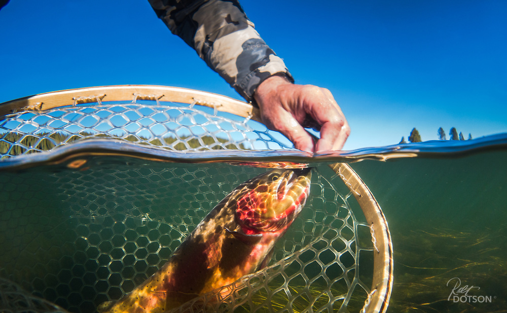 Yellowstone Cutthroat and leech removal