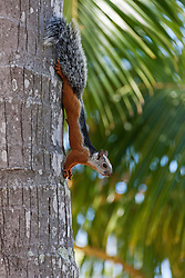 Squirrel on a tree trunk moving down, Samara, Costa Rica