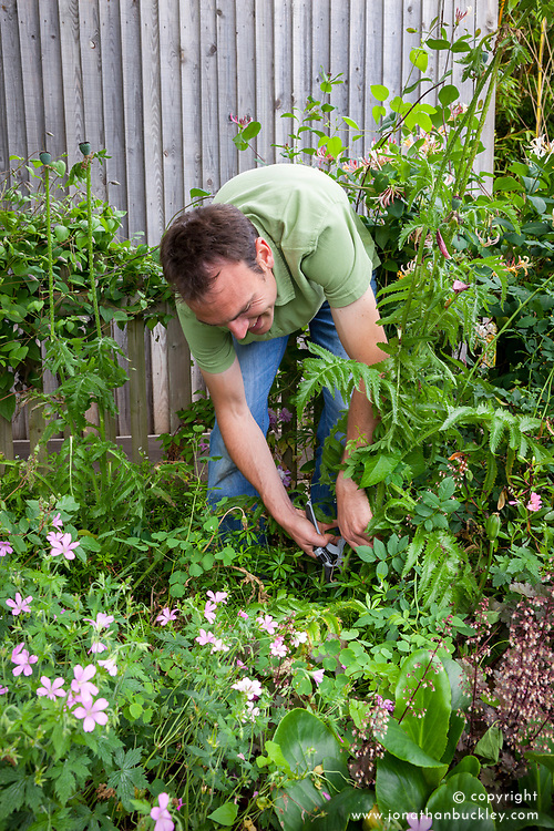 Cutting back oriental poppy foliage to the ground after they have finished flowering. Papaver orientale