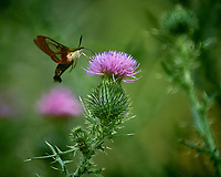 Clearwing Hummingbird Moths (Hemaris thysbe). Image taken with a Nikon D5 camera and 200-500 mm f/5.6 VR lens