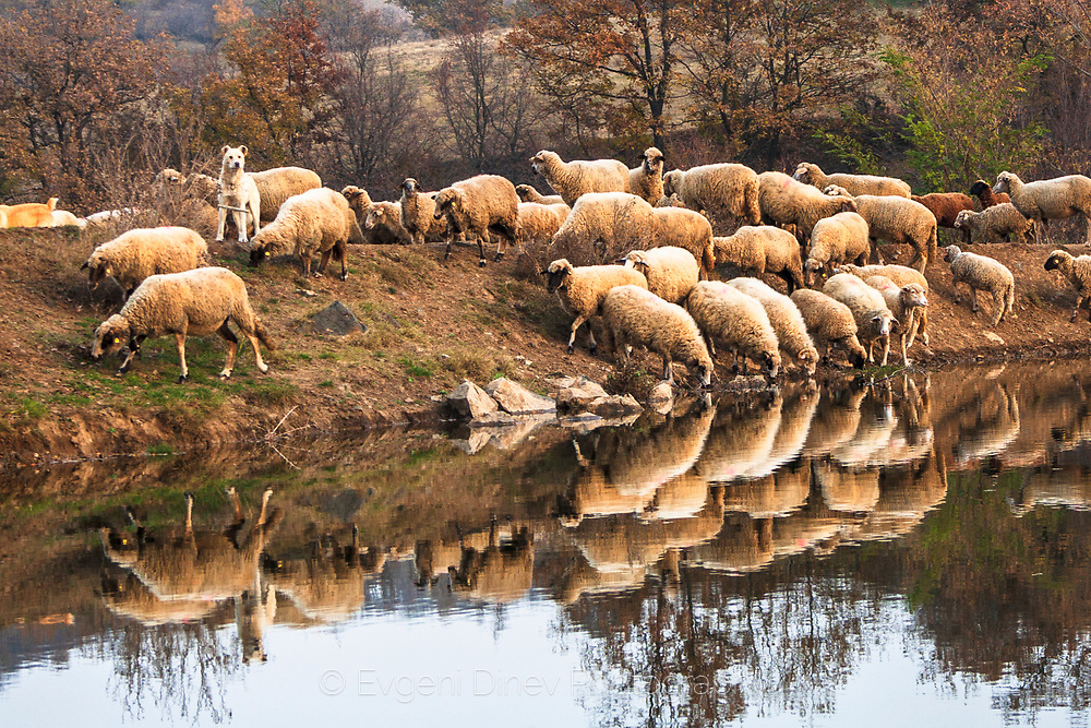 Flock of sheep by the water