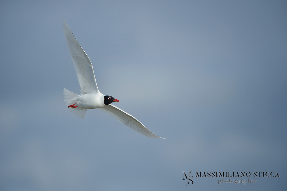 """The Mediterranean Gull, Ichthyaetus melanocephalus, is a small gull which breeds almost entirely in the Western Palearctic, mainly in the south east, especially around the Black Sea, and in central Turkey. There are colonies elsewhere in southern Europe, and this species has undergone a dramatic range expansion in recent decades. Birders often abbreviate its name to """"Med Gull"""". As is the case with many gulls, it has traditionally been placed in the genus Larus."""