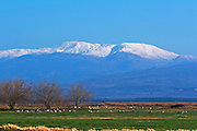 Israel, Hula Valley, Grey Cranes Grus grus at the Agmon lake Snow covered Hermon mountain in the background winter January 2007