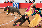 A bull knocks a banderillero down during a bullfight at the Plaza de Toros March 3, 2018 in San Miguel de Allende, Mexico.