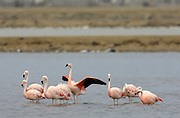 Salinas - Monday, Jan 14 2008: Nine Chilean Flamingoes (Phoenicopterus chilensis) stand in a salt lake just outside Salinas, Ecuador. (Photo by Peter Horrell / http://www.peterhorrell.com)