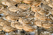 Sleeping shore birds including Marbled Godwits, (Limosa fedoa), Back Bay Reserve,California