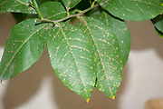 Close up of a citrus tree leaf with the rust like spots caused by scale insects of the Coccidae family