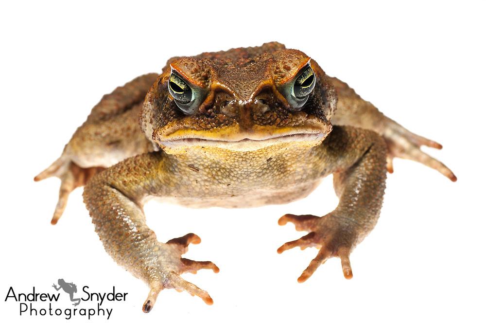 Marine toad, Rhinella marina, Iwokrama, Guyana, July, 2013, Andrew Snyder