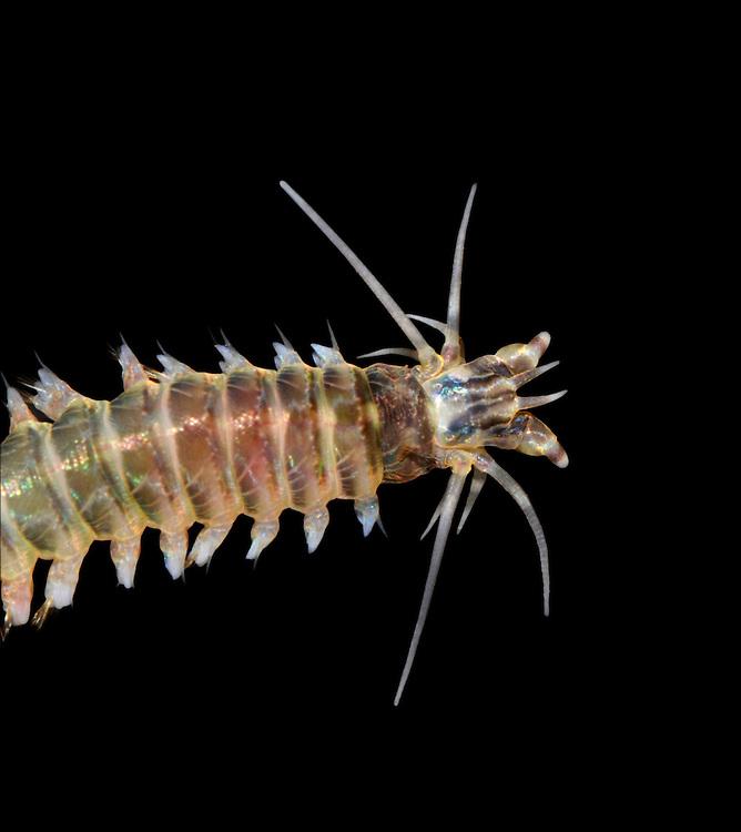 ragworm<br /> Perinereis cultrifera