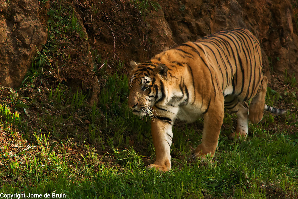 A Tiger is sneaking up on his playmate in the Wildlife park Of Cabárceno in Spain.