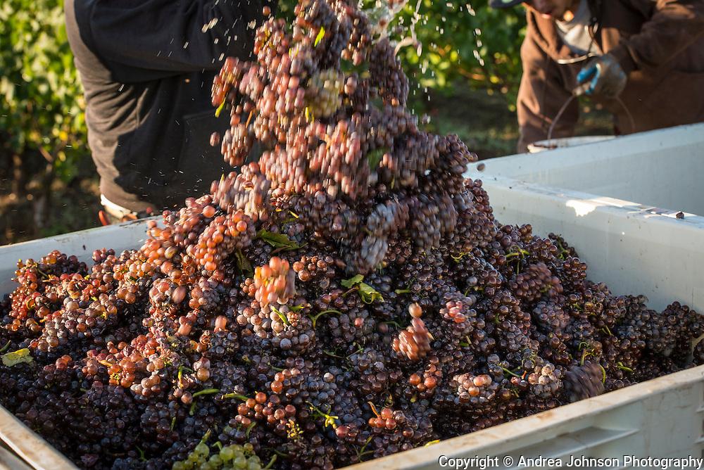 Brooks harvest, Eola-Amity Hills, Willamette Valley, Oregon