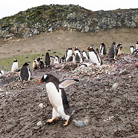 A gentoo penguin walks past penguins sitting on rock nests in a colony on Barrientos Island.