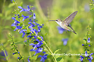 01162-15203 Ruby-throated Hummingbird (Archilochus colubris) at Blue Ensign Salvia (Salvia guaranitica ' Blue Ensign') in Marion County, IL