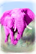 Digitally painted image of a pink African elephant