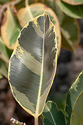 Multi colored Ficus leaf of the Ficus elastica (rubber tree) var Sylvie plant closeup