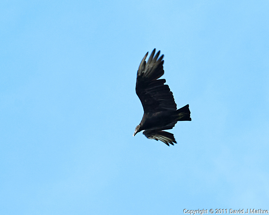 Black Vulture in flight. Image taken with a Nikon D700 camera and 28-300 mm VR lens.