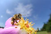 Western honey bee, European honey bee (Apis mellifera) collects pollen in a rose hip flower.  |  Die Honigbiene (Apis mellifera) sammelt Pollen in einer Hagebuttenblüte. Ganz nebenbei bestäubt sie dabei die Blütenpflanze und wird damit zum wichtigsten Bestäuber im Insektenreich. Kiel, Deutschland