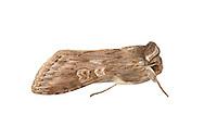 73.051 (2213)<br /> Scarce Wormwood - Cucullia artemisiae