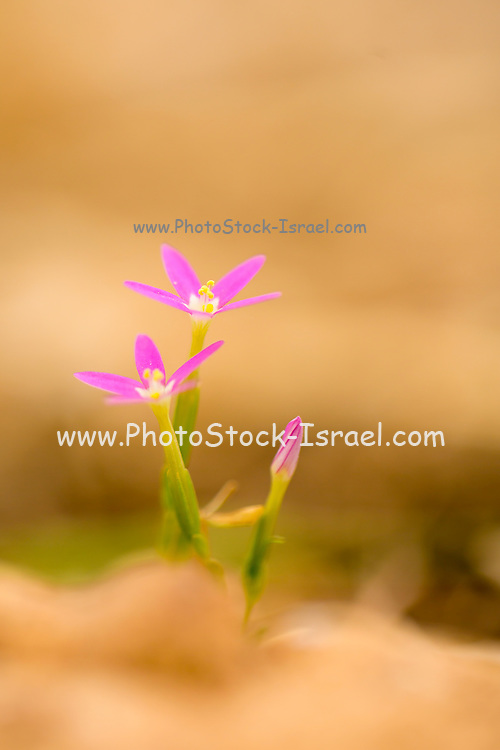 Centaurium erythraea is a species of flowering plant in the gentian family known by the common names common centaury and European centaury. This plant is used medicinally to strengthen digestive function and stimulate appetite. Photographed in Israel in June