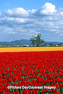67221-008.02 Lone tree and red & yellow tulips in field  Skagit Valley  WA