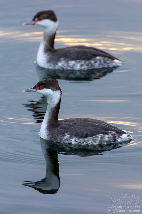 A pair of horned grebes (Podiceps auritus) generate ripples as they swim on the water of Puget Sound near Edmonds, Washington. The grebes here are shown in their winter, nonbreeding plumage.
