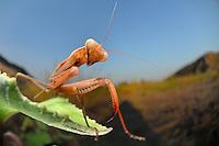 A mantis lurks for prey in the vegetation near the sand dunes.