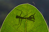 """Young Praying mantis, Mantis sp. Raja Ampat, Western Papua, Indonesian controlled New Guinea, on the Science et Images """"Expedition Papua, in the footsteps of Wallace"""", by Iris Foundation"""
