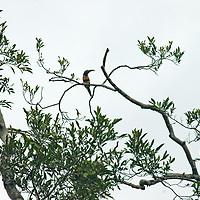 A Many-banded Aracari (Pteroglossus pluricinctus) perches in a tree in Peru's Amazon Jungle.