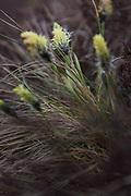 Blooming of tussock cottongrass also called hare's-tail cottongrass (Eriophorum vaginatum) in edge of raised bog, Kemeri National Park (Ķemeru Nacionālais parks), Latvia Ⓒ Davis Ulands | davisulands.com