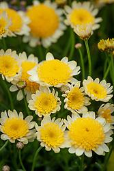 Argyranthemum 'Yellow Eye'